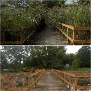 before and after photo of Phragmites treatment